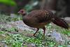 IMG_1594藍腹鷴雌鳥 Swinhoe's Pheasant, female by 賞景者 Jeff Lin