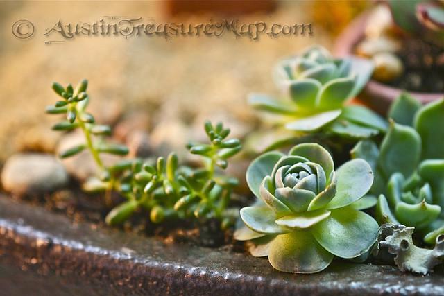 Miniature Zen Garden Close Up Sedum and Dunce Cap