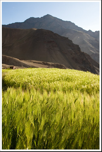 sunset india field barley 夕陽 tibetan himalaya 日落 ladakh 印度 喜馬拉雅 青稞田 吐蕃 chukirmo 拉達克