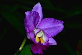 Orchid | by chooyutshing