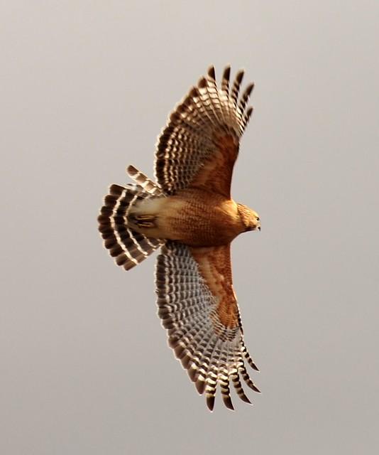 Red-shouldered Hawk - Eagle Lake,Texas