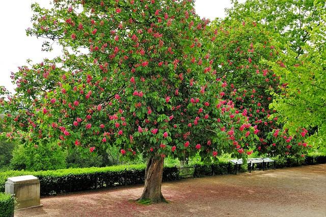 Red Horsechestnut Tree (Aesculus Carnea)