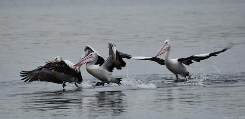 sea nature water animals fauna bay nikon scenery waterfront wildlife australia pelican views nsw brisbanewater woywoy d5500 nswcentralcoast centralcoastnsw