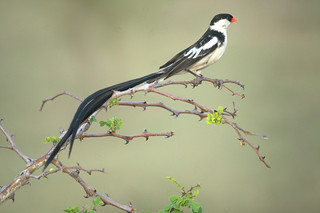 Pin-tailed Whydah | by Mike's Birds