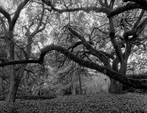 park blackandwhite tree film hasselblad liveoak hopelandgardens aikensouthcarolina istillshootfilm iflorddelta100