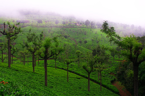 Tea Estate | by Kumaravel