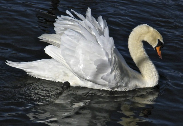 River Thames - Swans and birds