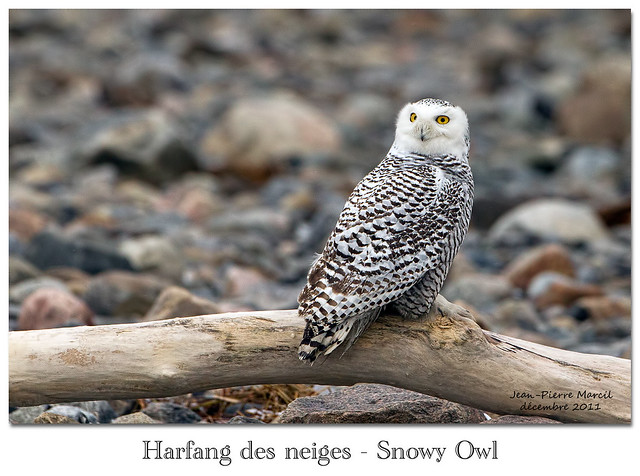 Harfang-des-neiges-femelle_Snowy-Owl_Quebec-5850