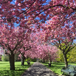 Greenwich Park cherry blossom | by Fran Pickering