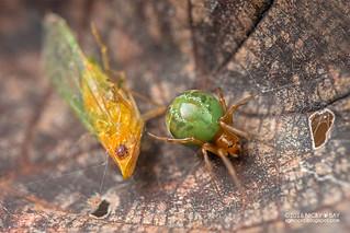 Comb-footed spider (Parasteatoda sp.) - DSC_2207