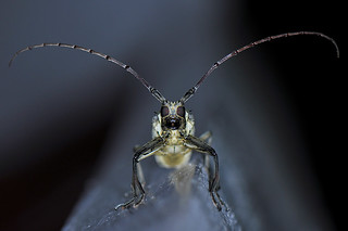 Berastagi - Long-horned Beetle | by Drriss & Marrionn
