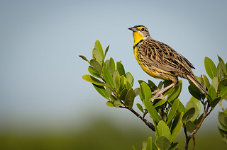 Eastern Meadowlark | by Ed Rosack