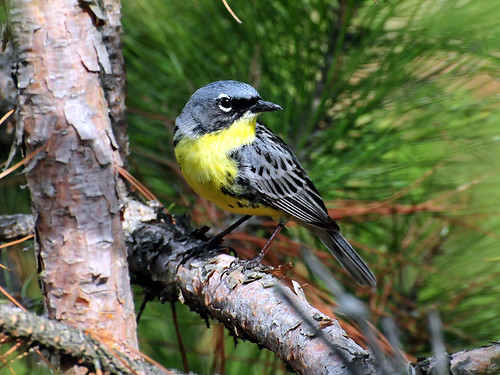 Endangered Kirtland's warbler (Dendroica kirtlandii)   by USFWS Headquarters
