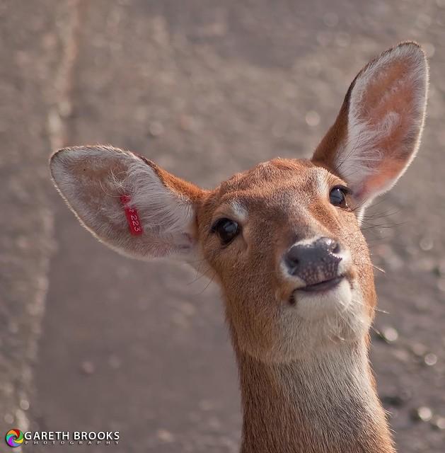 Oh Deer! (Brow Antlered Deer)