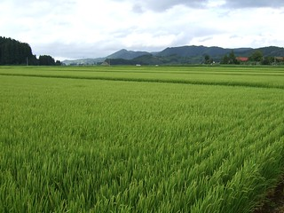 Rice field in Akita 1 | by southtopia