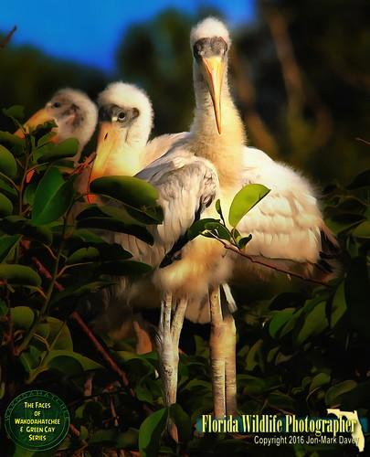 Face to Face with a baby Wood Stork and brother | by QuakerVille