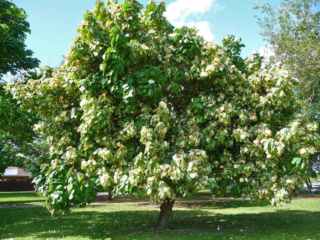Hibiscus Tiliaceus Tricolor Tlipariti Tiliaceum Kyle Wicomb Flickr