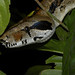 Boa Constrictor - Photo (c) Reinaldo Aguilar, some rights reserved (CC BY-NC-SA)
