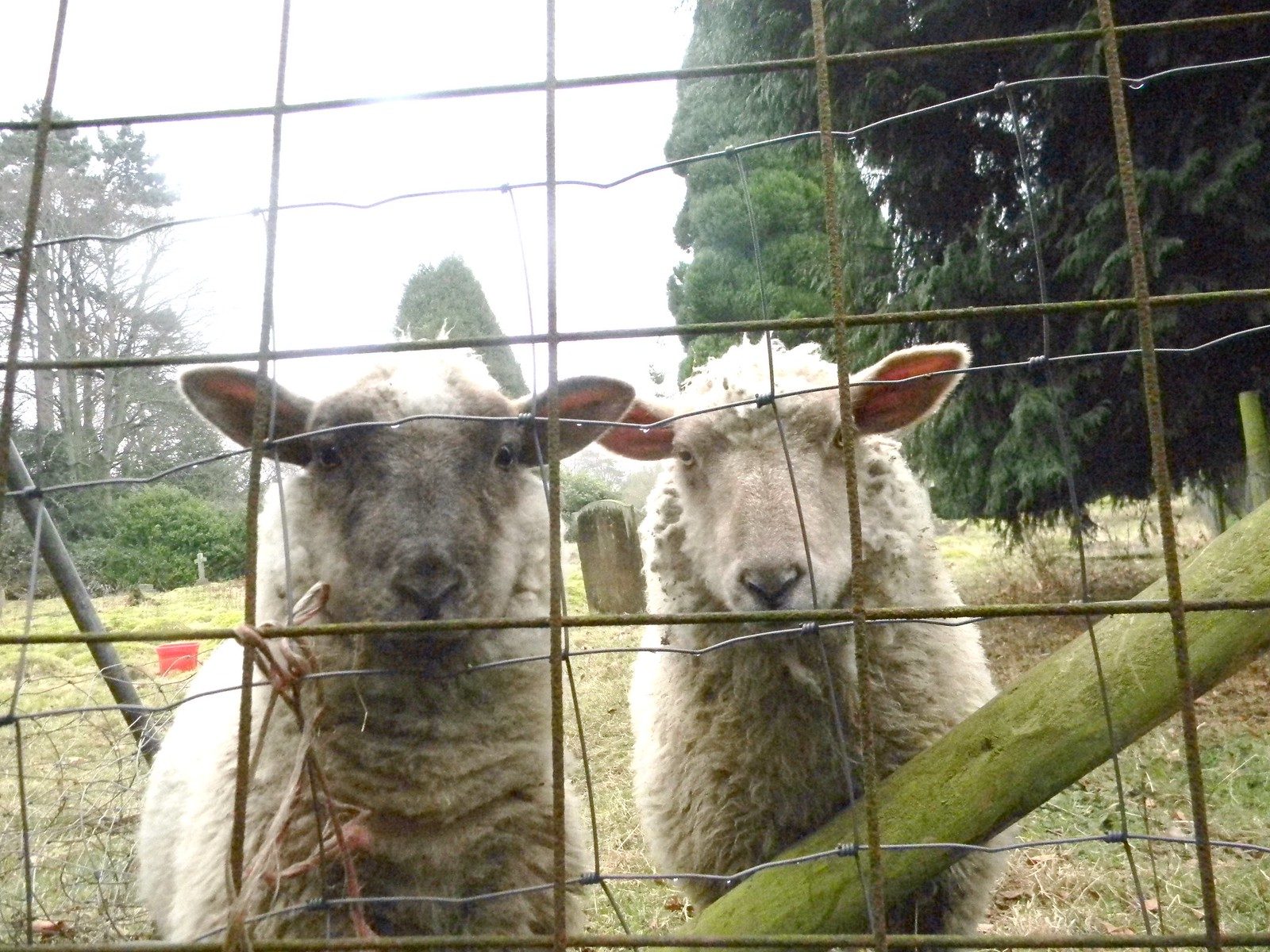 The graveyard shift Sheep, Cudham churchyard. Hayes to Knockholt