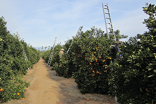 ca riverside harvest oranges arlingtonheights cch californiacitrusstatehistoricpark washingtonnavel elph300hs coronacollegeheightsorangeandlemonassociation harvestingoranges cchcitrus