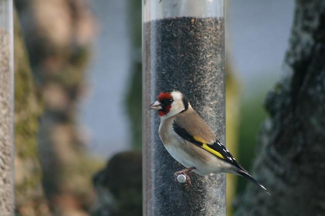 European Goldfinch ~ Carduelis carduelis ~ Weybourne Garden