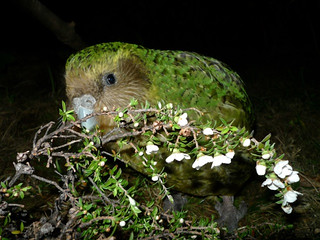 Sirocco munching manuka | by Department of Conservation