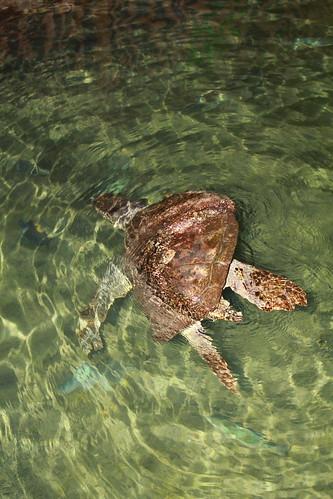Incoherent turtle photo :D   by keywest aquarium