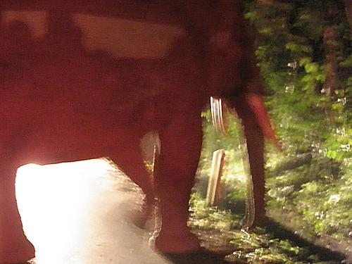 wild elephant at night