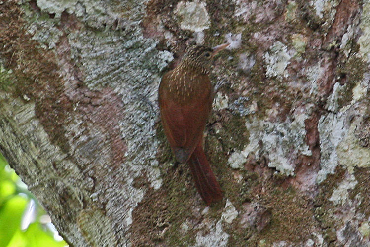 IMG_2201 Striped Woodcreeper (Xiphorhynchus obsoletus)