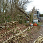 Coppiced Hazel poles