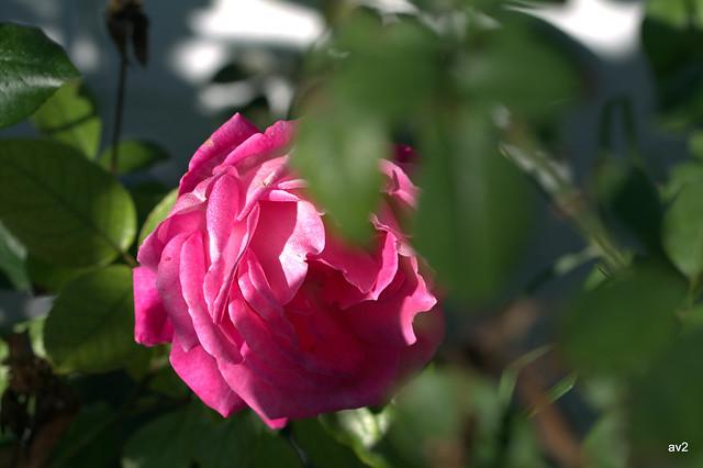 rosa entre hojas