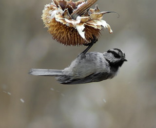 Mountain Chickadee | by Jerry Friedman