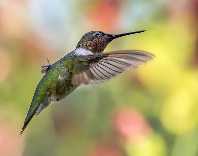 Godot in action. Ruby Throated Hummingbird -Colibri Garganta Rubi - (Archilochus colubris) in flight, Fairchild Tropical Botanic.