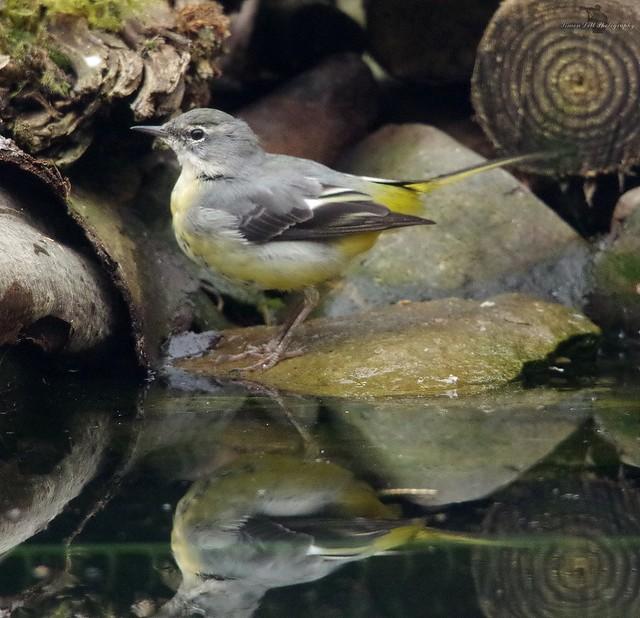 grey wagtail (2)