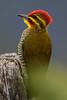 Pica-pau-dourado (Piculus aurulentus) - Yellow-browed Woodpecker