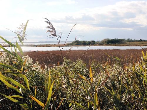reeds landscape shoreline maryland wetlands marsh tidal refuge chesapeakebay easternneck
