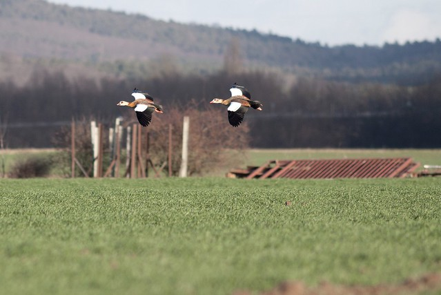 escaping geese