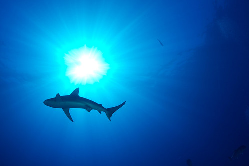 Shark, Kronos Reef | by USFWS Headquarters
