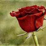Red Rose :   Explored   :