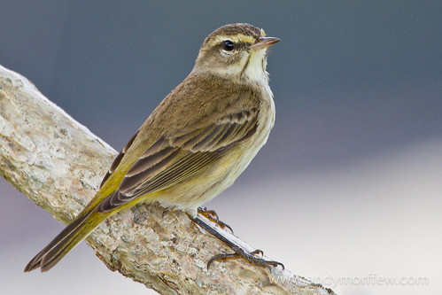 bird florida palmwarbler andymorffew morffew