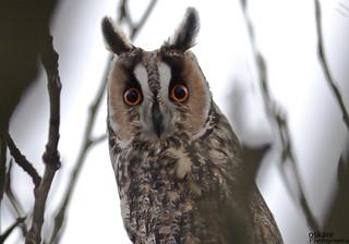 Eyrugla - Hornuggla - Long-eared Owl - Asio otus | by oskaree