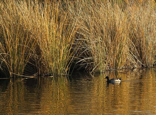 autumn arizona lake fall nature water composition reflections reeds golden duck pond seasons fourseasons goldenhour shimmer waterranch gilbertriparianpreserve riparianpreserve
