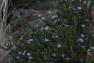 Olearia tenuifolia Thin-leaf Daisy bush