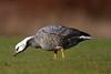 Emperor Goose (Chen canagica) by shyalbatross232
