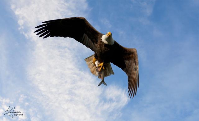Bald Eagle w/ Fish