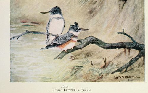Male and female belted kingfisher on a branch, illustration by Bruce Horsfall