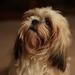 Pixie Dog (55/365)