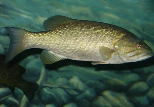 Smallmouth bass (Micropterus dolomieu) | by robposse