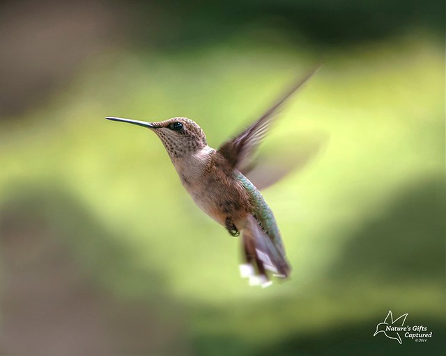 Female Ruby-throated Hummer
