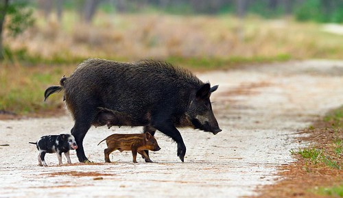Feral Pig and Piglets | by minds-eye